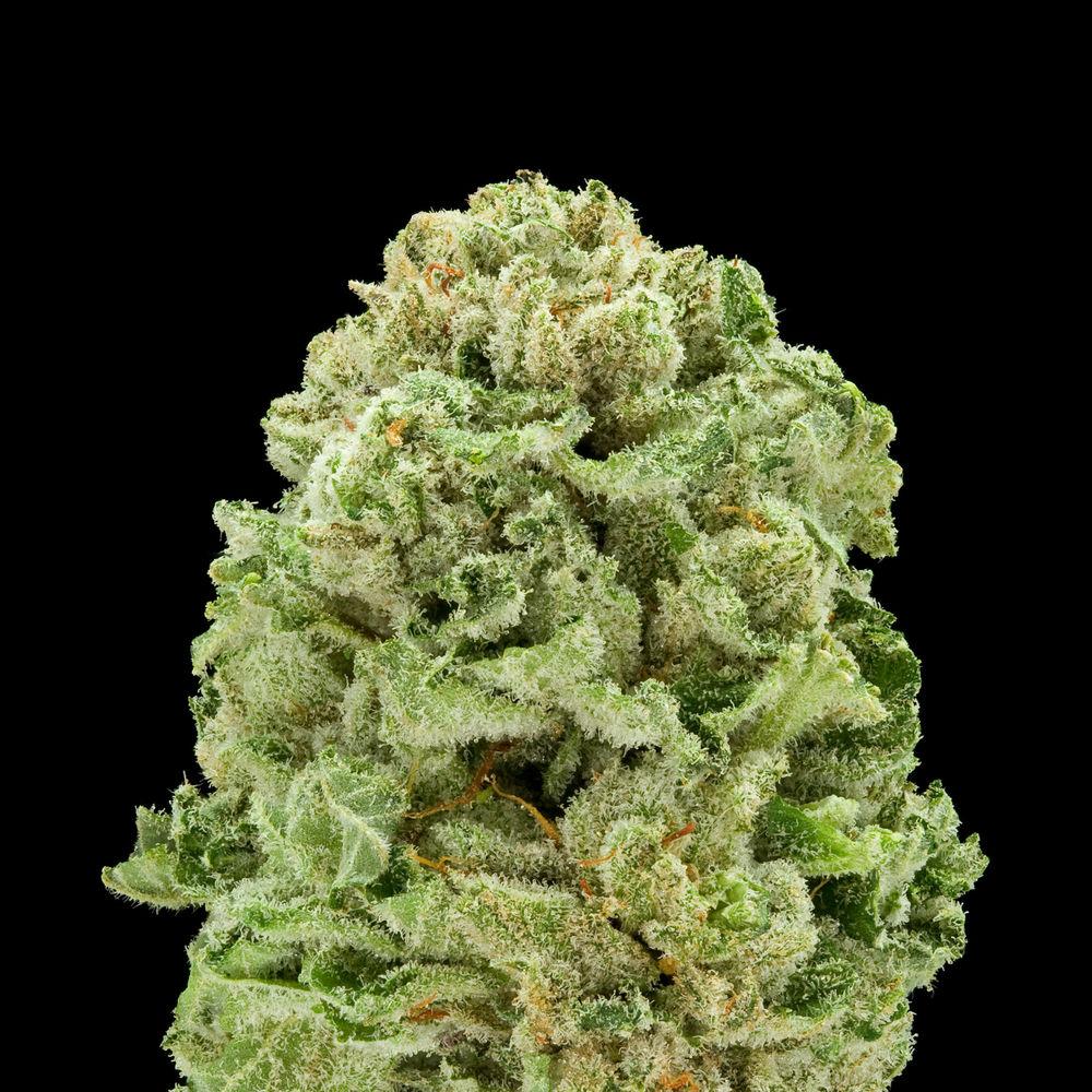 Master Kush Ultra Strawberry Fields Medical Marijuana Menu Medicinal Cannabis Pot Weed Directory